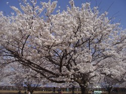 Sakura_2010